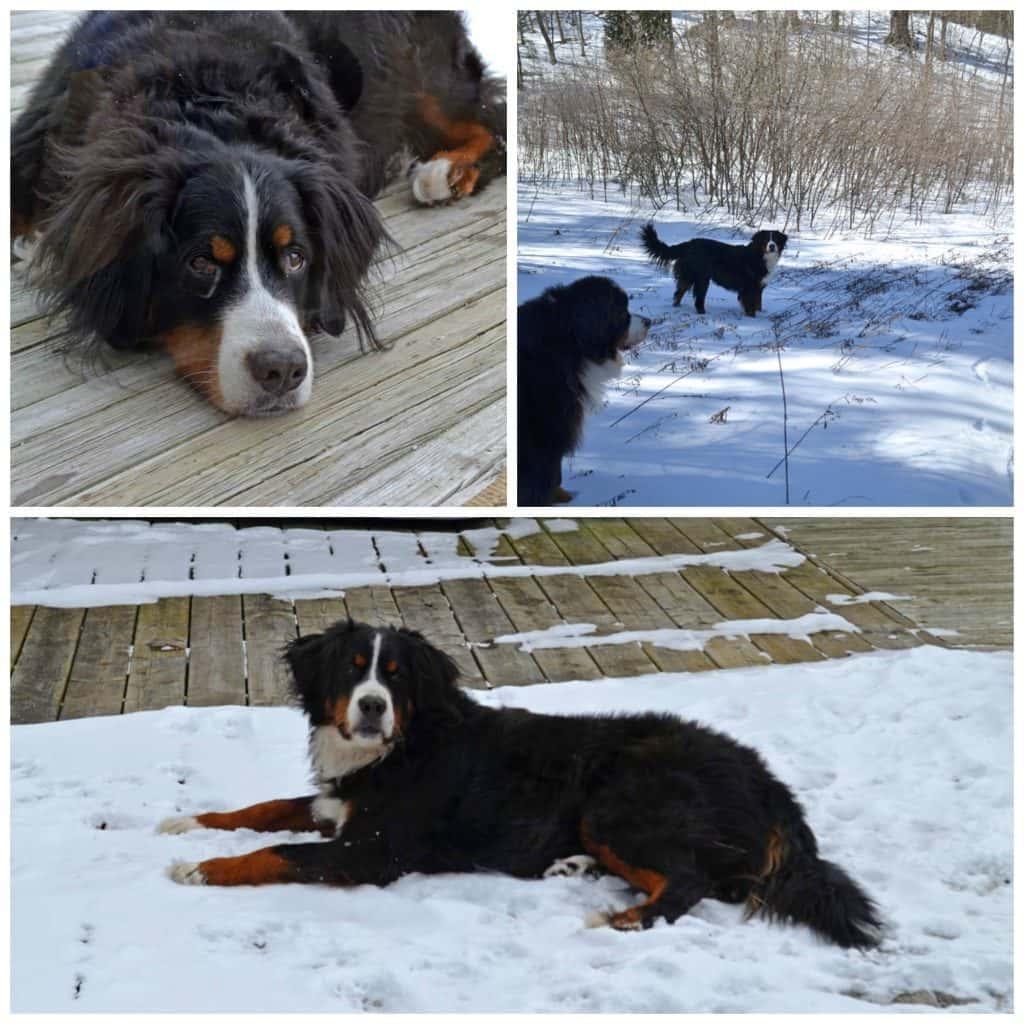 Jodi Bernese Mountain dog