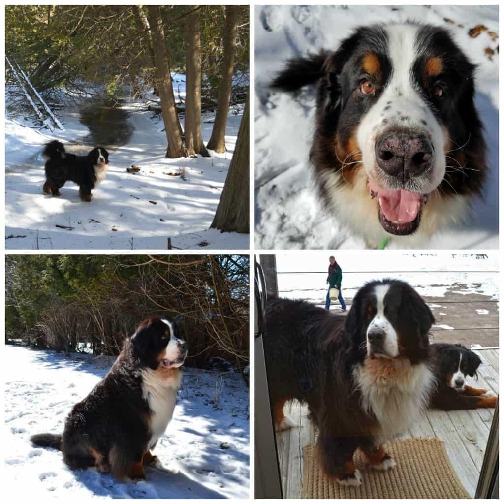 Nykii Bernese Mountain Dog